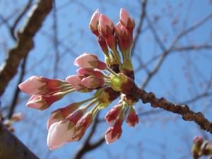 アロマ長崎・リブレア 桜1