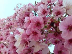 アロマ長崎・リブレア 桜2